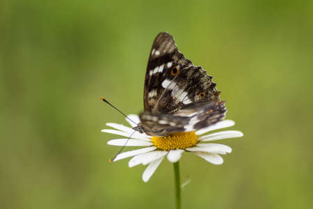 Beautiful butterfly on a flower chamomile. Green background.