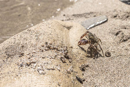 Striped crab on the sandy beach Closeup