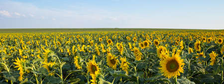 Sunflower field and cloudy blue sky. Summer concept
