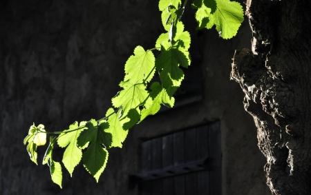 Olive tree leaves against the light