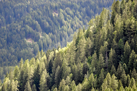 pine trees: A green hill of with pine trees against the light Stock Photo