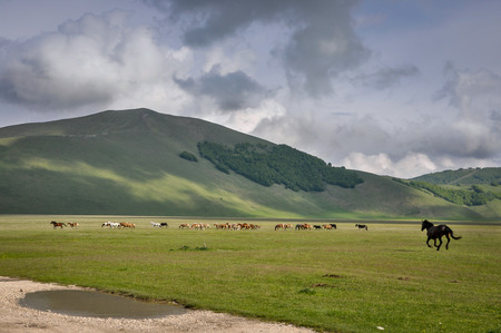 Wild horses at Piano Grande,  Umbria, Italy, which is a plateau in 1500m height surrounded by mountains