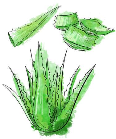 Vector hand getrokken botanische Aloë Vera. Gegraveerd collectie. Aloë Vera banner, affiche, etiket, brochure sjabloon voor het bedrijfsleven te promoten. Stock Illustratie