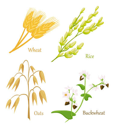illustration of ripe ears of cereals with inking. Cereals icon set with rye rice wheat corn oats millet isolated on white background.