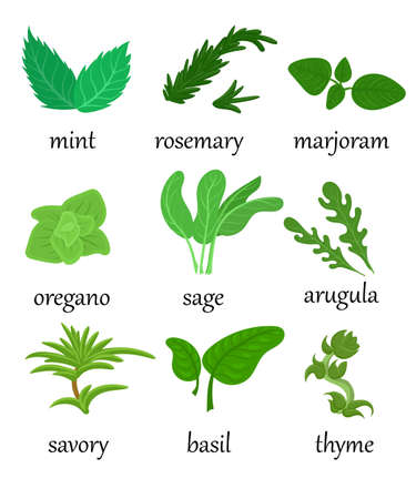 Set of different special herbs which are using in cooking with titles realistic isolated vector illustration mint basilicas oregano. Illustration