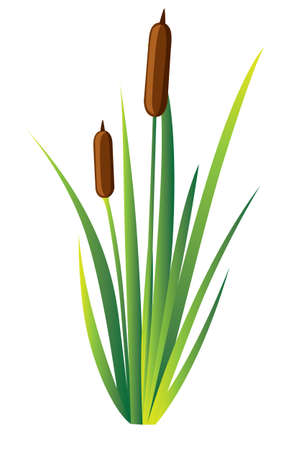 Swamp canes Water Reed Plant Cattails Green Leaf Grass Environment Swamp, Lake and River. Vector illustration Web site page and mobile app design.