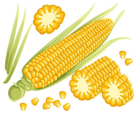 Yellow corn on the cobs, male inflorescence and leaves isolated vector illustration of sweet golden corn. Bunch of Corn. summer farm design elements Web site page and mobile app design. 일러스트
