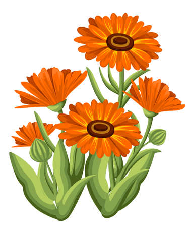 officinalis: Vector illustration calendula flowers on white background. Medicinal herbs in sketch style Web site page and mobile app design.