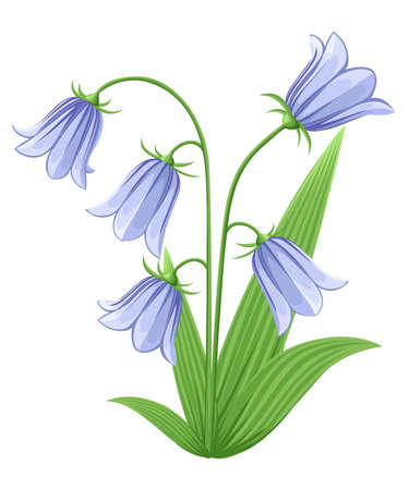 Bell-flowers Campanula Hand drawn vector illustration of blue bell flowers and buds on white background.