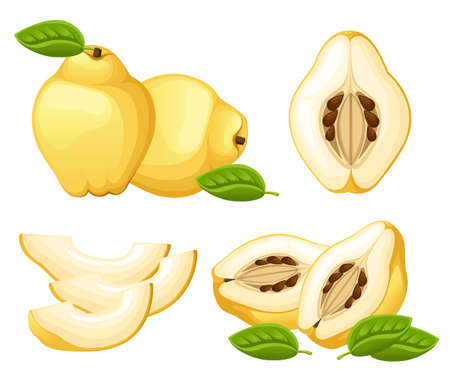 Quince with leaves whole and slices of quinces. Vector illustration of quince. Vector illustration for decorative poster, emblem natural product, farmers market. Website page and mobile app design. Stock Vector - 95887827