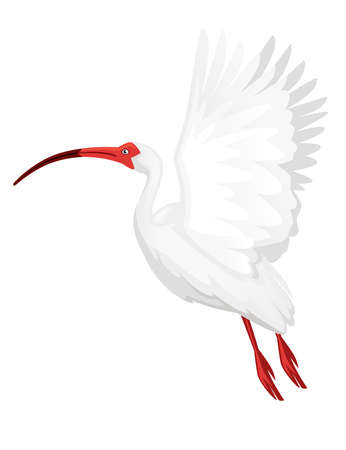 American white ibis flying flapping his wings