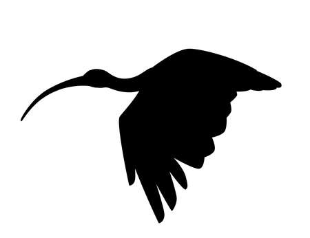 Black silhouette American white ibis flying flapping his wings flat