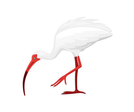 American white ibis stand on one leg flat