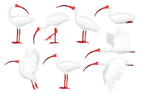 Set of american white ibis flat vector illustration cartoon animal design white bird with red beak on white background side view.