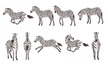 Set of african zebra side and front view cartoon animal design flat vector illustration isolated on white background. 矢量图像