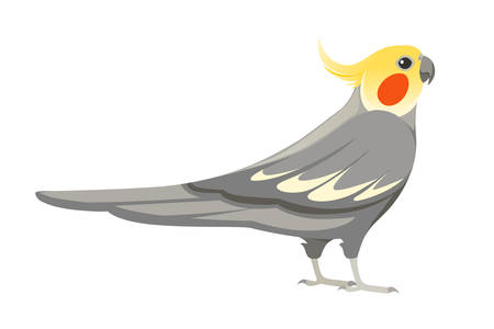 Adult parrot of normal grey cockatiel (Nymphicus hollandicus, corella) cartoon bird design flat vector illustration isolated on white background.