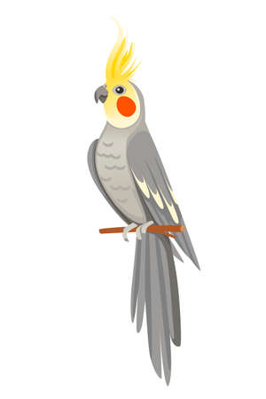 Adult parrot of normal grey cockatiel sitting on branch (Nymphicus hollandicus, corella) cartoon bird design flat vector illustration isolated on white background.