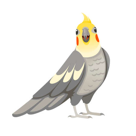 Adult parrot of normal grey cockatiel looking on you (Nymphicus hollandicus, corella) cartoon bird design flat vector illustration isolated on white background.