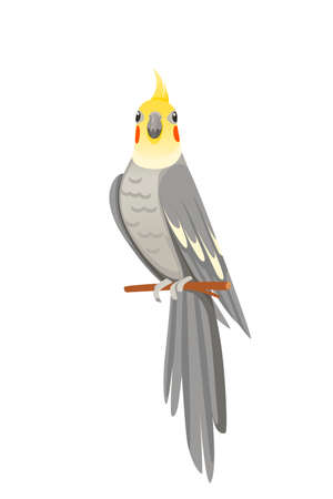 Cute adult parrot of normal grey cockatiel sitting on branch and looking on you (Nymphicus hollandicus, corella) cartoon bird design flat vector illustration isolated on white background.