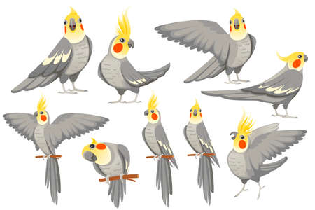 Set of adult parrot of normal grey cockatiel (Nymphicus hollandicus, corella) cartoon bird design flat vector illustration isolated on white background. Illustration