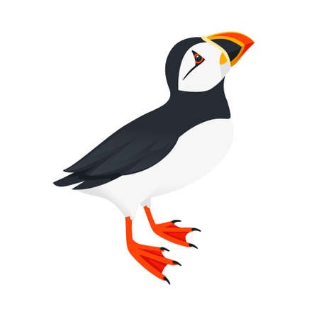 Atlantic puffin bird look at top cartoon animal design flat vector illustration isolated on white background.