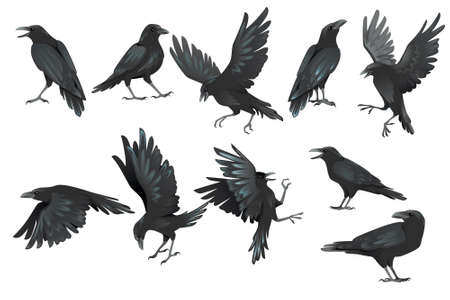 Set of black raven bird in different poses cartoon crow design flat vector animal illustration isolated on white background.