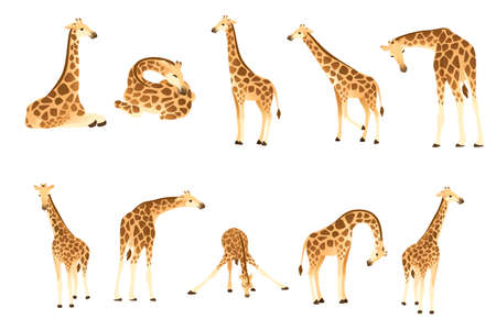Set of mature giraffe african animal with long neck cartoon animal design flat vector illustration isolated on white background. Illustration