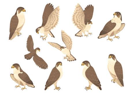 Set of predatory bird cute adult falcon cartoon animal design birds of prey character flat vector illustration isolated on white background