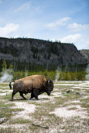 geysers: Bisons by the Yellowstone River with geysers in the background
