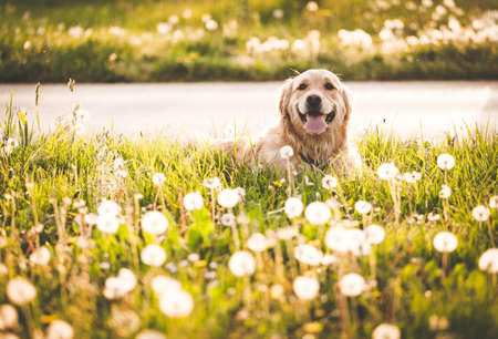 Golden retriever dog in enjoy sun 스톡 콘텐츠