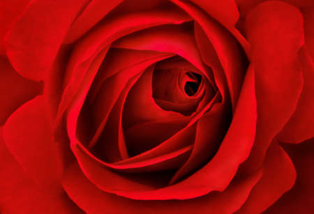 red rose: Close up of beautiful red roses