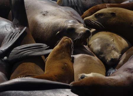 sun bathing: Group of California Sea Lions sun bathing on the floating docks of Pier 39 in San Francisco