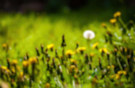 filed: Abstract blurry background of dandelion filed Stock Photo