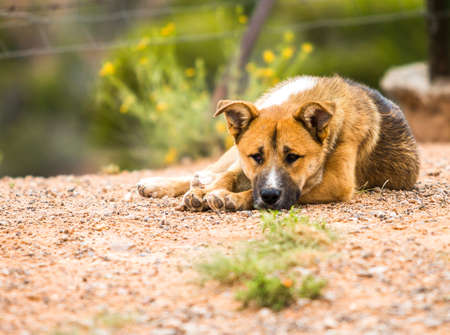 The yellow dog lying in the grass. Stock Photo