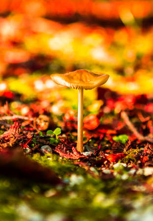 Fresh mushroom in amazing golden autumn forest. Autumn Collection 스톡 콘텐츠
