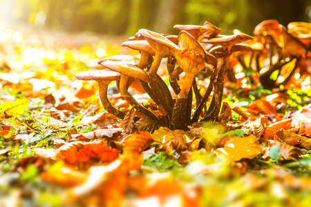 Fresh mushroom in amazing golden autumn forest. Autumn Collection 스톡 콘텐츠 - 144234834