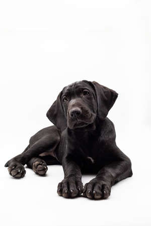 Portrait of a black labrador retriever dog looking at the camera isolated on a white background. Concept Dogs in studio.