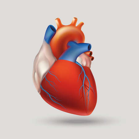 circulatory: Conditional image of a model of the human heart (hollow muscular organ that pumps the blood through the circulatory system by rhythmic contraction and dilation). Light background.