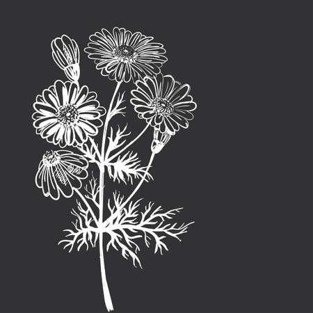fiori di campo: Disegno a mano di un fiore - Camomilla farmaceutica. Scuro modello sfondo chiaro. Vettoriali
