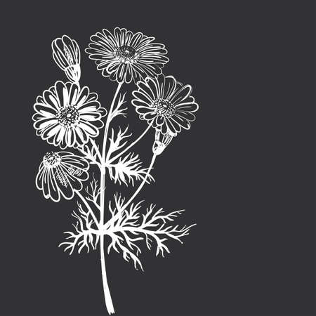 camomile flower: Hand drawing of a flower - camomile pharmaceutical. Dark background light pattern.