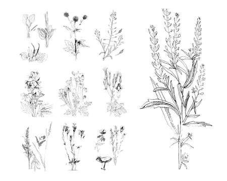 Sketch of a field flower in the style of an engraving print. Hand drawing, black and white graphics. 向量圖像