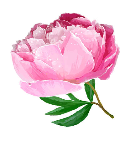 A flower of the garden peony. Vector illustration. White background, pink flower Çizim