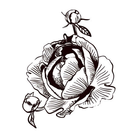 outline sketch of flower peony