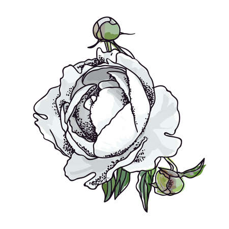Picturesque drawing of a flower of a peony. White Фото со стока - 129767641
