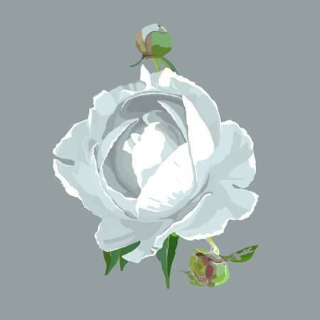 Picturesque drawing of a flower of a peony. White Иллюстрация