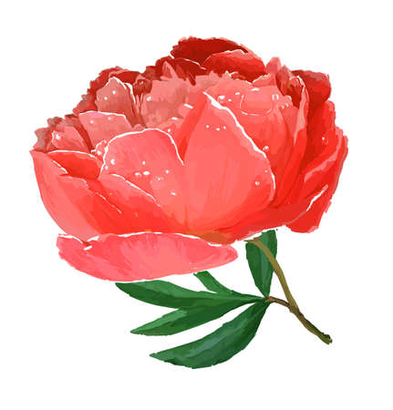 A flower of the garden peony. Vector illustration. White background, red flower