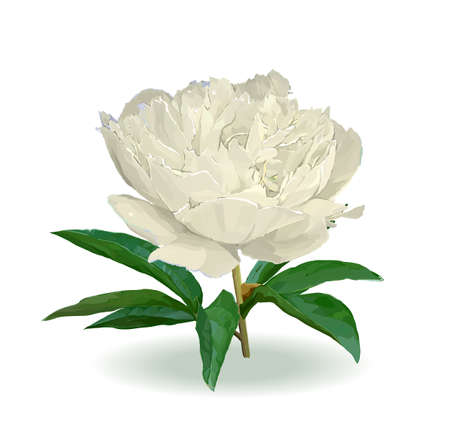 A flower of the garden peony. Vector illustration