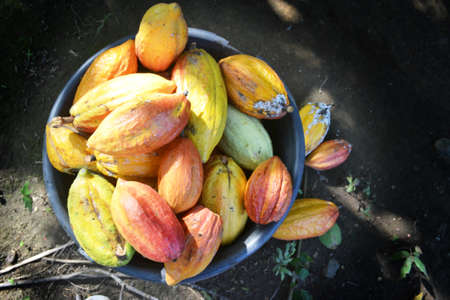 High Angle View of Red and Yellow Cocoa Fruit Harvest in a Bucket with Ground Floor