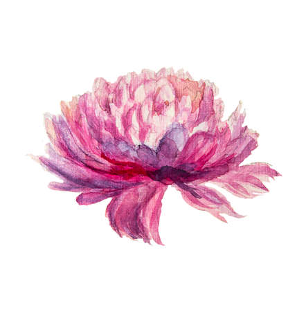 chrysanthemum flower on a white background hand-drawn watercolor illustration illustration