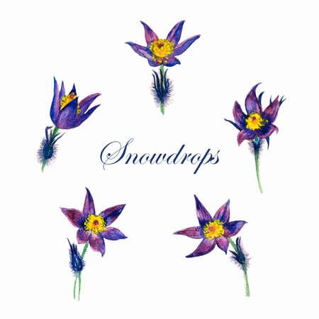stamens: delicate purple snowdrops on a white background watercolor vector illustration Illustration